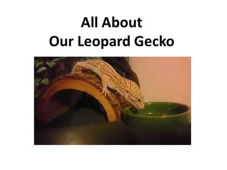 All About Our Leopard Gecko Unlike other geckos, leopard geckos have moveable eyelids. All leopard geckos are potential carriers of infectious diseases,