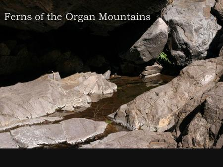 Ferns of the Organ Mountains. Outline: 1.What are ferns? -features; life cycle; special characteristics like sori and gametophytes; desert adaptations.