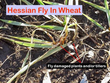 Hessian Fly In Wheat Fly damaged plants and/or tillers.