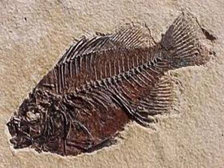 Fossils Fossil are the preserved remains or traces of living things. They form when living things die and are buried by sediment. They are usually.