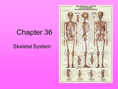Chapter 36 Skeletal System. Skeleton Supports the body Protects internal organs Provides for movement Stores mineral reserves Provides site for blood.