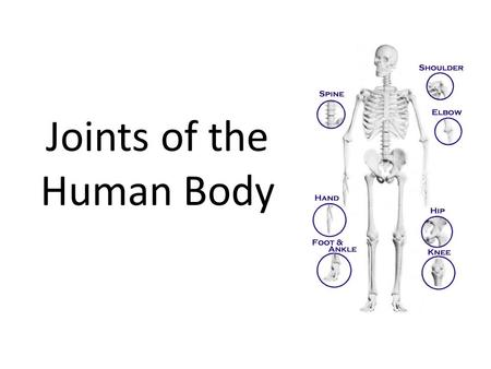 Joints of the Human Body. Joints Joints are the ________________(or articulations) between _________connected bones. Joints ________________________ _______________________________.
