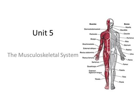 Unit 5 The Musculoskeletal System. Essential Questions What are the functions of the musculoskeltal system? What are the main bones of our body, what.