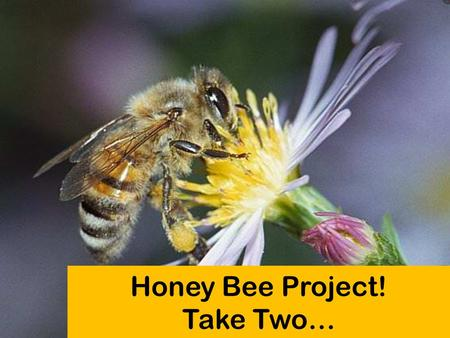 Honey Bee Project! Take Two…. Honey Bee Background 1500 B.C. – early signs of Beekeeping Important Terms: Beekeeping Tools: 1568 – discovered bees could.