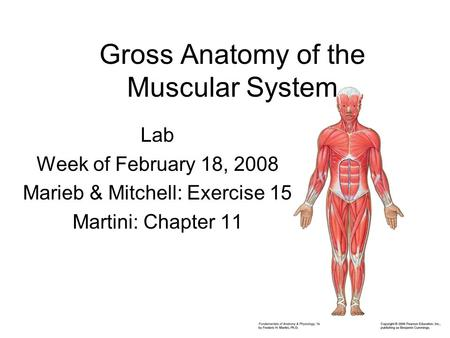Gross Anatomy of the Muscular System Lab Week of February 18, 2008 Marieb & Mitchell: Exercise 15 Martini: Chapter 11.