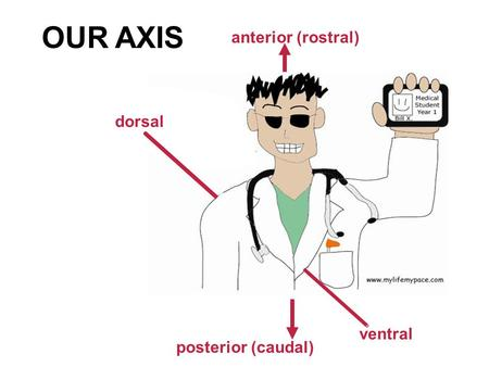 Ventral anterior (rostral) posterior (caudal) dorsal OUR AXIS.