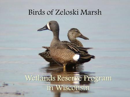 Birds of Zeloski Marsh Wetlands Reserve Program in Wisconsin.