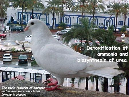 Detoxification of ammonia and biosynthesis of urea. The basic features of nitrogen metabolism were elucidated initially in pigeons.