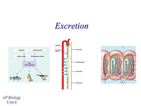 Excretion AP Biology Unit 6.