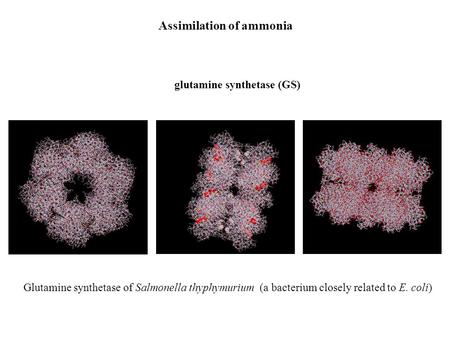 Assimilation of ammonia glutamine synthetase (GS) Glutamine synthetase of Salmonella thyphymurium (a bacterium closely related to E. coli)