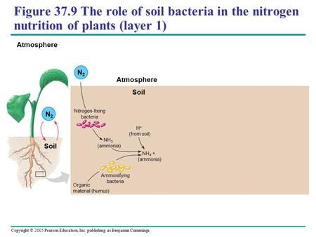 Copyright © 2005 Pearson Education, Inc. publishing as Benjamin Cummings Figure 37.9 The role of soil bacteria in the nitrogen nutrition of plants (layer.