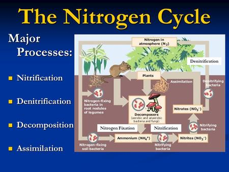 The Nitrogen Cycle Major Processes: Nitrification Nitrification Denitrification Denitrification Decomposition Decomposition Assimilation Assimilation Nitrogen.