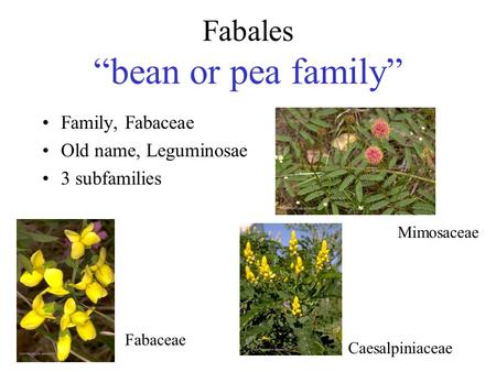 "Fabales ""bean or pea family"""