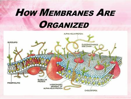 H OW M EMBRANES A RE O RGANIZED. Membranes' Functions give cells their outer boundaries (plasma membranes) and their inner compartments (organelles) Control.