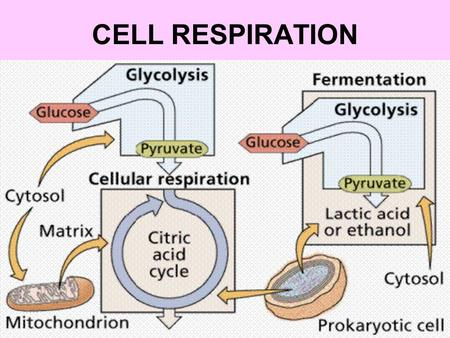 CELL RESPIRATION.