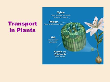 Transport in Plants. Plants require: CO 2 Light O2O2 H2OH2O Minerals Macronutrients (besides C, H, O) Ca, K, Mg, N, P, S Micronutrients B, Cl, Cu, Fe,