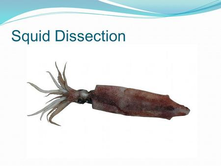 Squid Dissection.