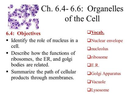 Ch. 6.4- 6.6: Organelles of the Cell 6.4: Objectives  Identify the role of nucleus in a cell.  Describe how the functions of ribosomes, the ER, and golgi.
