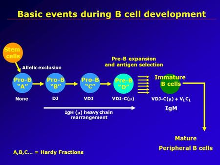 "Basic events during B cell development Stem cells Pre-B ""D"" Pre-B expansion and antigen selection Immature B cells Mature Peripheral B cells IgH () heavy."