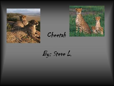 Cheetah By: Steve L.. Cheetahs weigh up to 110 to 140 pounds. They are tan with black spots. They eat zebras, crocodiles, and alligators.