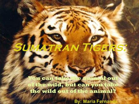 Sumatran Tigers: You can take the animal out of the wild, but can you take the wild out of the animal? By: Maria Fernanda Lancheros 1 st.