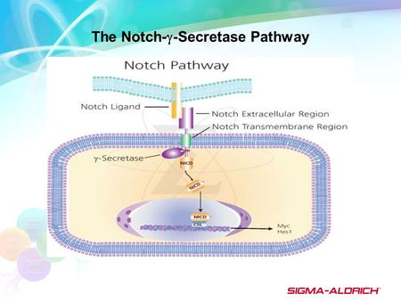 The Notch-  -Secretase Pathway. Notch activation involves the proteolytic cleavage of the Notch ligand/receptor complex by  -secretase to release the.