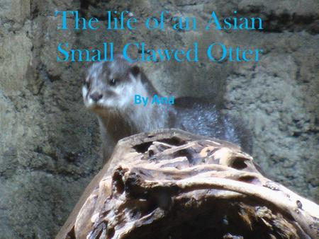 The life of an Asian Small Clawed Otter By Ana. Table of Contents.