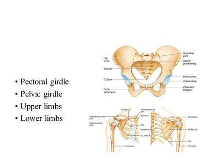 Pectoral girdle Pelvic girdle Upper limbs Lower limbs.