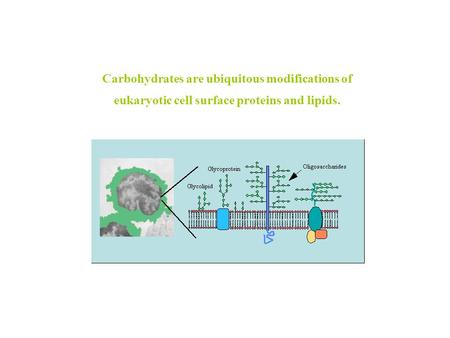 Carbohydrates are ubiquitous modifications of eukaryotic cell surface proteins and lipids.