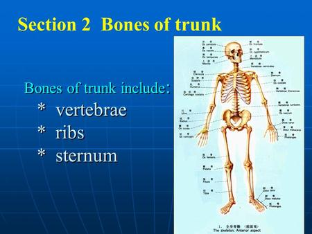 Section 2 Bones of trunk Bones of trunk include: * vertebrae * ribs * sternum.