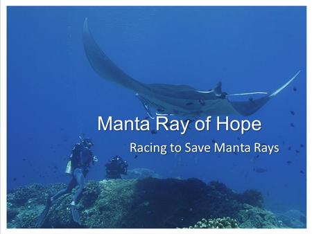 Manta Ray of Hope Racing to Save Manta Rays. Manta and Mobula Rays Slow reproduction  highly vulnerable – Mature 10 to 20 years; 1 pup every 1 to 5 years.