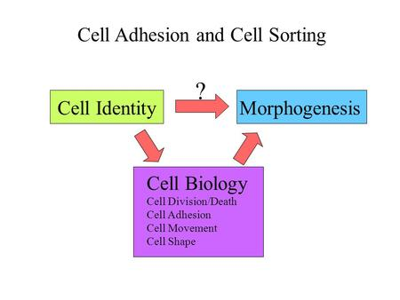 Cell Adhesion and Cell Sorting Cell IdentityMorphogenesis ? Cell Biology Cell Division/Death Cell Adhesion Cell Movement Cell Shape.