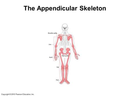 Copyright © 2010 Pearson Education, Inc. The Appendicular Skeleton.