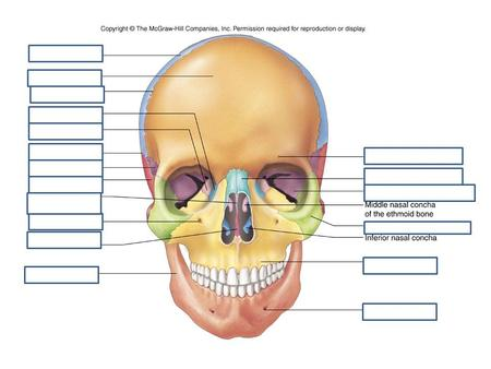 Above: Frontal View. Legend: 1- Mental tubercle. 2- Body of mandible Above: Frontal View. Legend: 1- Mental tubercle. 2- Body of mandible. 3- Ramus.
