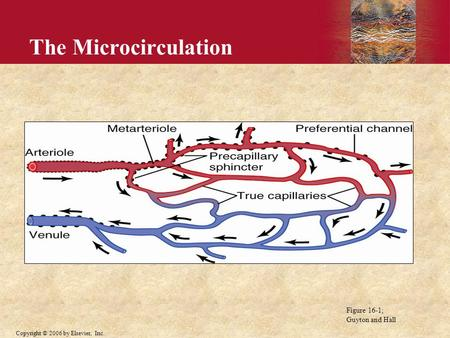 The Microcirculation Figure 16-1; Guyton and Hall.