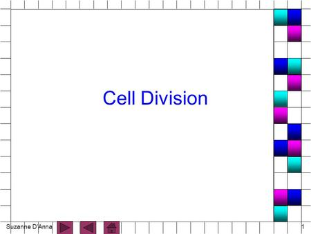 Suzanne D'Anna1 Cell Division. Suzanne D'Anna2 Cell Division n process by which cells reproduce themselves n Includes: - nuclear division - cytoplasmic.