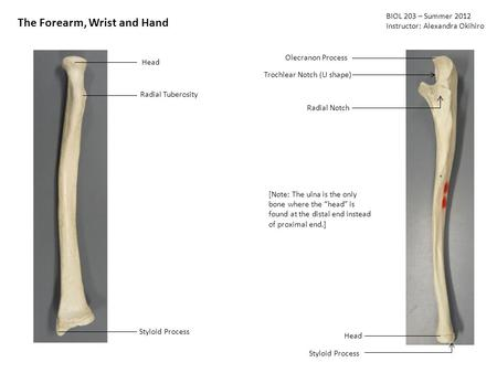 BIOL 203 – Summer 2012 Instructor: Alexandra Okihiro The Forearm, Wrist and Hand Head Radial Tuberosity Styloid Process Olecranon Process Trochlear Notch.