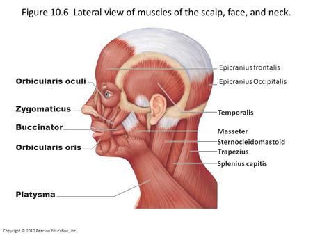 Copyright © 2010 Pearson Education, Inc. Figure 10.6 Lateral view of muscles of the scalp, face, and neck. Orbicularis oculi Zygomaticus Buccinator Orbicularis.