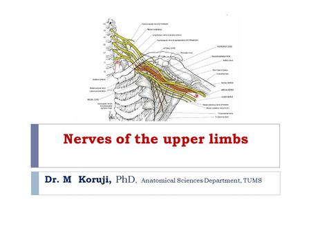 Nerves of the upper limbs