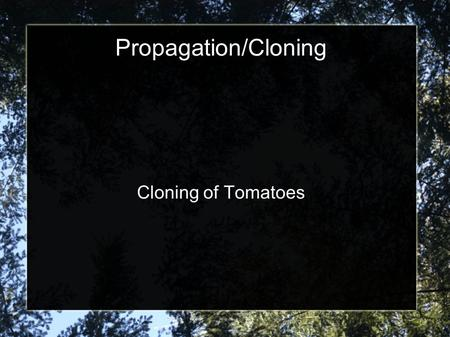 Propagation/Cloning Cloning of Tomatoes. Find tomato plant that is at least 2 feet in height of a species of tomatoes that you like: Beef, grape, cherry,