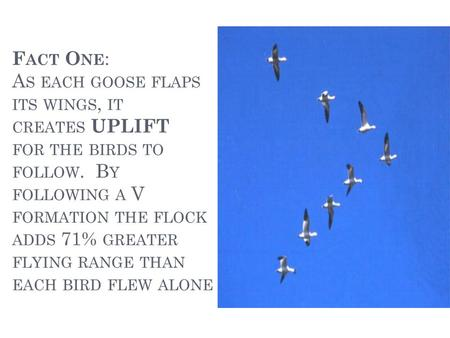 F ACT O NE : A S EACH GOOSE FLAPS ITS WINGS, IT CREATES UPLIFT FOR THE BIRDS TO FOLLOW. B Y FOLLOWING A V FORMATION THE FLOCK ADDS 71% GREATER FLYING RANGE.