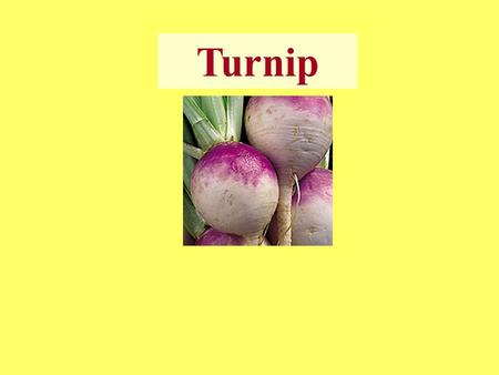 Turnip. ☻ Turnip is a main cool season crop In Himachal Pradesh. ☻ It is grown as a cash crop during summer months in dry and wet temperate zones and.