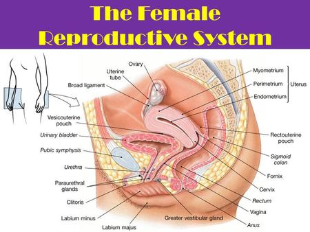 The Female Reproductive System. The Female Reproductive Cell Egg ( ovum )