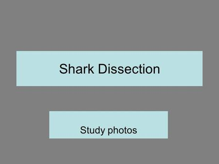 Shark Dissection Study photos.
