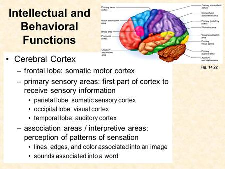 Intellectual and Behavioral Functions Cerebral Cortex –frontal lobe: somatic motor cortex –primary sensory areas: first part of cortex to receive sensory.