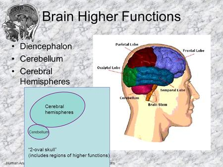 "Human Anatomy and Physiology I, Frolich, Higher Brain Functions Brain Higher Functions Diencephalon Cerebellum Cerebral Hemispheres ""2-oval skull"" (includes."