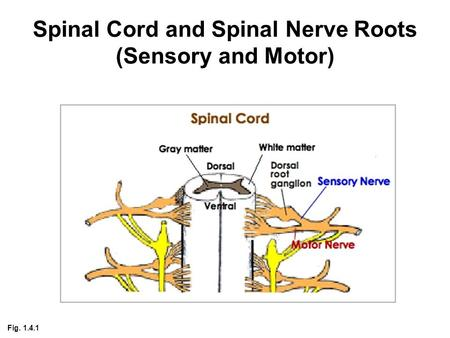 Spinal Cord and Spinal Nerve Roots (Sensory and Motor) Fig. 1.4.1.