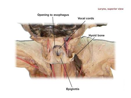 Vocal cords Epiglottis Opening to esophagus Hyoid bone.