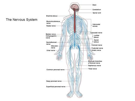 The Nervous System. Thalamus and Hypothalamus 1.Midbrain 2.Pons 3.Medulla.