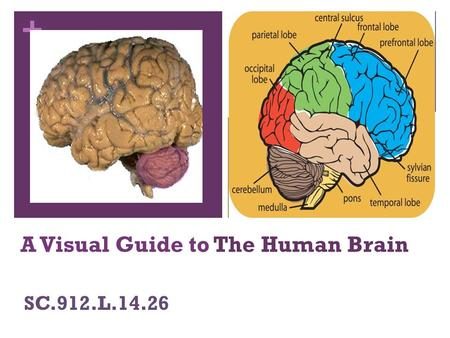 + A Visual Guide to The Human Brain SC.912.L.14.26.